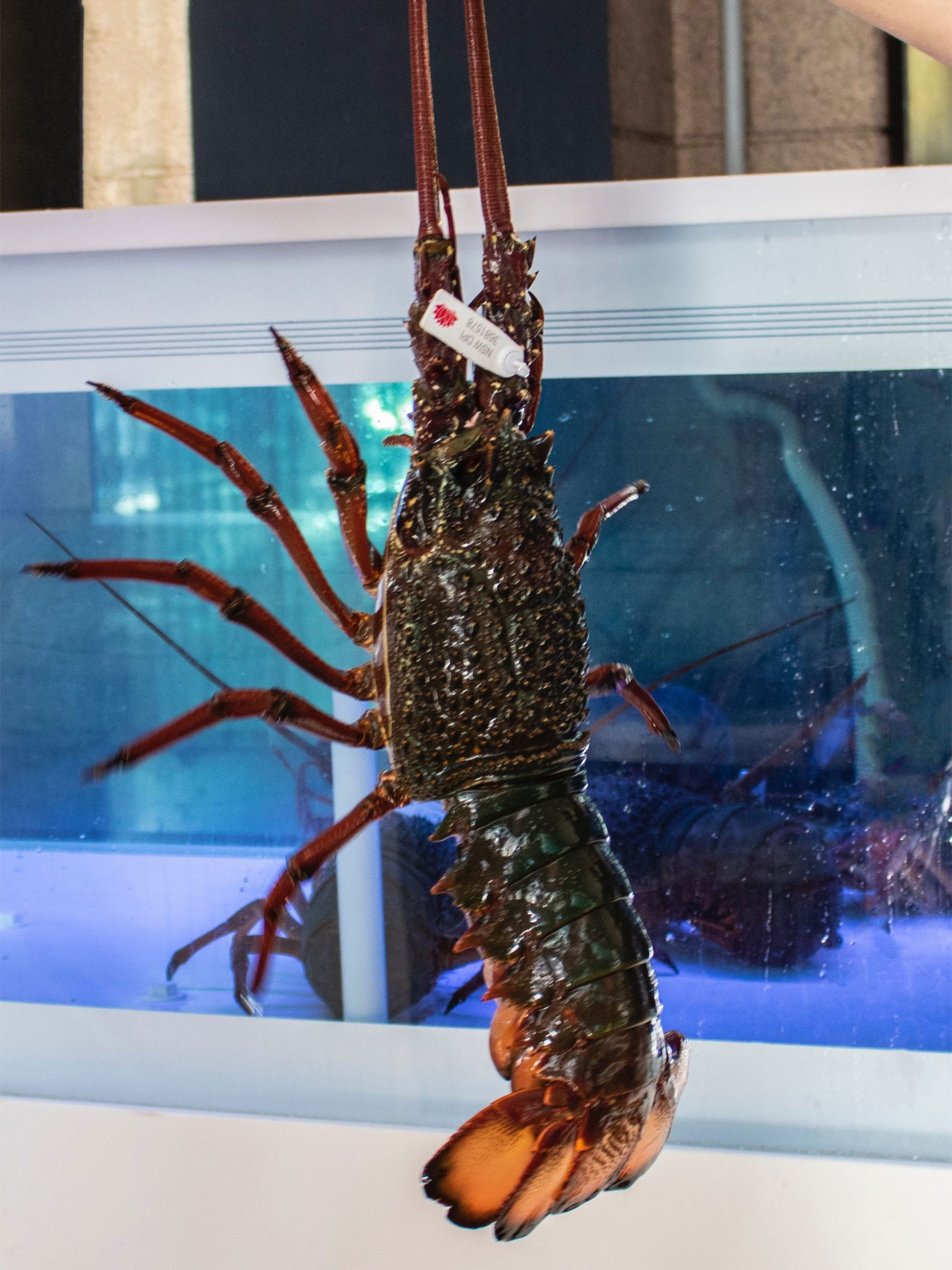 The secret of keeping the 'freshness' of the lobsters at Nick's restaurants